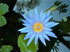 Photo of a waterlily flower